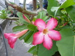プルメリアの花.jpg