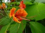 火炎樹の花.jpg